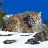 Download cold stare bobcat wallpapers, cold stare bobcat wallpapers Free Wallpaper download for Desktop, PC, Laptop. cold stare bobcat wallpapers HD Wallpapers, High Definition Quality Wallpapers of cold stare bobcat wallpapers.