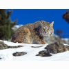 Cold Stare Bobcat Wallpapers