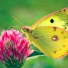 Download colias hyale butterfly wallpapers, colias hyale butterfly wallpapers Free Wallpaper download for Desktop, PC, Laptop. colias hyale butterfly wallpapers HD Wallpapers, High Definition Quality Wallpapers of colias hyale butterfly wallpapers.