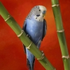 Download colorful budgerigar wallpapers, colorful budgerigar wallpapers Free Wallpaper download for Desktop, PC, Laptop. colorful budgerigar wallpapers HD Wallpapers, High Definition Quality Wallpapers of colorful budgerigar wallpapers.