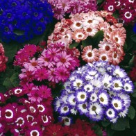 Colorful Cinerarias