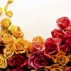 Download colors of roses, colors of roses  Wallpaper download for Desktop, PC, Laptop. colors of roses HD Wallpapers, High Definition Quality Wallpapers of colors of roses.