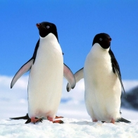 Companions Penguins Hd Wallpapers
