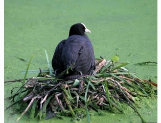 Coot Nesting Pond Hd Wallpapers