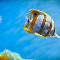 Copperband Butterfly Fish Wallpapers