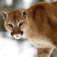Cougar In Winter Montana Wallpapers