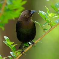 Cowbird Hd Wallpapers