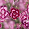 Download cranberry ice dianthus, cranberry ice dianthus  Wallpaper download for Desktop, PC, Laptop. cranberry ice dianthus HD Wallpapers, High Definition Quality Wallpapers of cranberry ice dianthus.