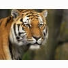 Curious Cat Siberian Tiger Wallpapers