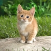 Download curious tabby kitten wallpapers, curious tabby kitten wallpapers Free Wallpaper download for Desktop, PC, Laptop. curious tabby kitten wallpapers HD Wallpapers, High Definition Quality Wallpapers of curious tabby kitten wallpapers.