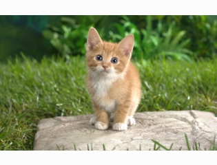 Curious Tabby Kitten Wallpapers