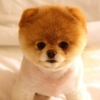 Download cute dog boo wallpapers, cute dog boo wallpapers Free Wallpaper download for Desktop, PC, Laptop. cute dog boo wallpapers HD Wallpapers, High Definition Quality Wallpapers of cute dog boo wallpapers.
