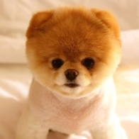 Cute Dog Boo Wallpapers