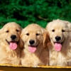 Download cute dogs wallpapers, cute dogs wallpapers Free Wallpaper download for Desktop, PC, Laptop. cute dogs wallpapers HD Wallpapers, High Definition Quality Wallpapers of cute dogs wallpapers.