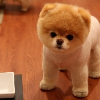Cute Pomeranian Dog Wallpapers
