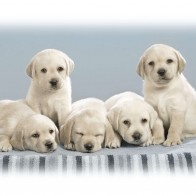 Cute Puppies Wallpapers