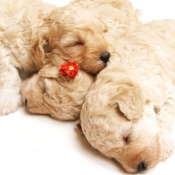 Cute Sleeping Puppies Wallpapers