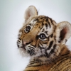 Download cute tiger cub wallpapers, cute tiger cub wallpapers Free Wallpaper download for Desktop, PC, Laptop. cute tiger cub wallpapers HD Wallpapers, High Definition Quality Wallpapers of cute tiger cub wallpapers.