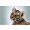 Cute Tiger Cub Wallpapers
