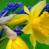 Download daffodils and hyacinth, daffodils and hyacinth  Wallpaper download for Desktop, PC, Laptop. daffodils and hyacinth HD Wallpapers, High Definition Quality Wallpapers of daffodils and hyacinth.