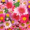 Download daisies amp mums, daisies amp mums  Wallpaper download for Desktop, PC, Laptop. daisies amp mums HD Wallpapers, High Definition Quality Wallpapers of daisies amp mums.
