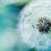 Download dandelion flower, dandelion flower  Wallpaper download for Desktop, PC, Laptop. dandelion flower HD Wallpapers, High Definition Quality Wallpapers of dandelion flower.
