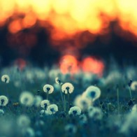 Dandelions At Sunset Wallpaper