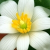 Download delicate bloodroot, delicate bloodroot  Wallpaper download for Desktop, PC, Laptop. delicate bloodroot HD Wallpapers, High Definition Quality Wallpapers of delicate bloodroot.