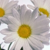 Download delicate daisies, delicate daisies  Wallpaper download for Desktop, PC, Laptop. delicate daisies HD Wallpapers, High Definition Quality Wallpapers of delicate daisies.