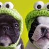 Download dogs in hats cover, dogs in hats cover  Wallpaper download for Desktop, PC, Laptop. dogs in hats cover HD Wallpapers, High Definition Quality Wallpapers of dogs in hats cover.