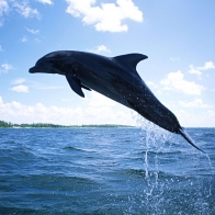 Dolphin Diving Wallpapers