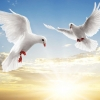 Download dove pair wallpapers, dove pair wallpapers Free Wallpaper download for Desktop, PC, Laptop. dove pair wallpapers HD Wallpapers, High Definition Quality Wallpapers of dove pair wallpapers.