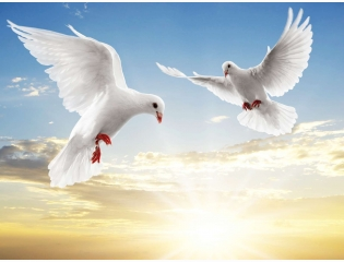 Dove Pair Wallpapers