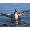 Duck Flapping Wings Hd Wallpapers