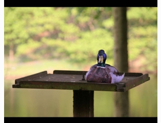 Duck On Bird Table Hd Wallpapers
