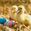 Download ducklings pair wallpapers, ducklings pair wallpapers Free Wallpaper download for Desktop, PC, Laptop. ducklings pair wallpapers HD Wallpapers, High Definition Quality Wallpapers of ducklings pair wallpapers.