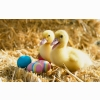 Ducklings Pair Wallpapers