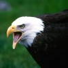 Download eagle hd wallpapers new 3, eagle hd wallpapers new 3 Free Wallpaper download for Desktop, PC, Laptop. eagle hd wallpapers new 3 HD Wallpapers, High Definition Quality Wallpapers of eagle hd wallpapers new 3.