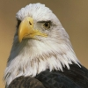 Download eagle hd wallpapers, eagle hd wallpapers Free Wallpaper download for Desktop, PC, Laptop. eagle hd wallpapers HD Wallpapers, High Definition Quality Wallpapers of eagle hd wallpapers.