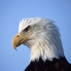 Download eagle looking ahead hd wallpapers, eagle looking ahead hd wallpapers Free Wallpaper download for Desktop, PC, Laptop. eagle looking ahead hd wallpapers HD Wallpapers, High Definition Quality Wallpapers of eagle looking ahead hd wallpapers.