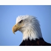 Eagle Looking Ahead Hd Wallpapers