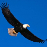 Eagle Soaring High Hd Wallpapers