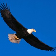 Eagle Soaring High Wallpapers