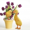 Download easter quackers, easter quackers  Wallpaper download for Desktop, PC, Laptop. easter quackers HD Wallpapers, High Definition Quality Wallpapers of easter quackers.