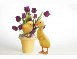 Easter Quackers