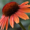 Download echinacea sundown, echinacea sundown  Wallpaper download for Desktop, PC, Laptop. echinacea sundown HD Wallpapers, High Definition Quality Wallpapers of echinacea sundown.