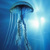 Electric Jellyfish Wallpapers