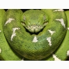 Emerald Tree Boa Amazon Equador Wallpapers