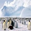 Download emperor penguins antarctica wallpapers, emperor penguins antarctica wallpapers Free Wallpaper download for Desktop, PC, Laptop. emperor penguins antarctica wallpapers HD Wallpapers, High Definition Quality Wallpapers of emperor penguins antarctica wallpapers.
