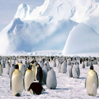 Emperor Penguins Hd Wallpapers